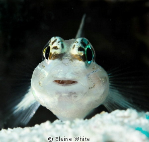 Goby on guard by Elaine White 